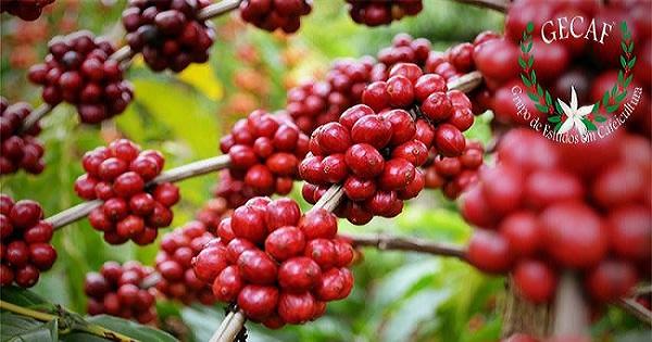 Jequitibá recebe encontro para desenvolvimento da cafeicultura