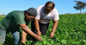 Projeto Cultivar da Embrapa ajuda agricultura de feijão para merenda escolar em Jequitibá